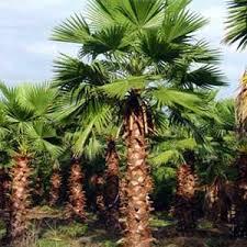 prix des palmiers exterieur washingtonia robusta palmier du mexique mon