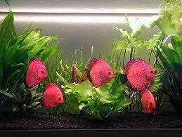 poisson eau douce aquarium tropical poissons d aquarium wikipédia