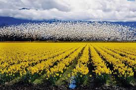 washington s skagit valley is blanketed with daffodils and
