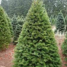 Douglas Fir Tree Seeds Pseudotsuga Menziesii 20Seeds