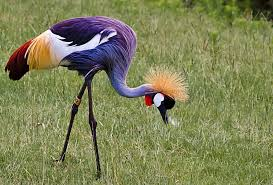 Inhabits West And East Africa Extremely Romantic Bird Their Courtship Can Be Accompanied By Dances Including Jumping Running Wing Flapping