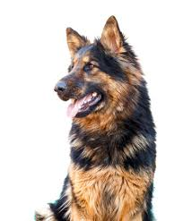 Dogs That Shed The Least by The Best Gsd Short Coat Vs Long Coat Simply For Dogs