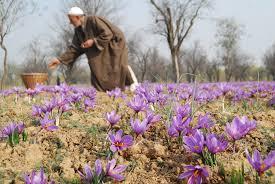 original kashmiri saffron price buy iks kesari fssai