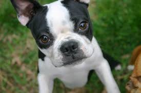 Small Non Shedding Dogs by Boston Terrier Temperament Names Rescue Adoption