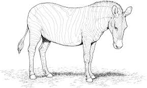Awesome Coloring Pictures Of Zebras Free Download