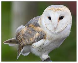 Barn Owl By PeteLatham On DeviantArt Barn Owl New Zealand Birds Online Audubon California Starr Ranch Live Webcams Barn Red My Pet Pupo The Barn Owl Mouse Youtube Babyowl Explore On Deviantart Adopt An The Wildlife Trusts Wikipedia Owlrodent Research Project Vineyard Owl Lookie My Pet Growing Up Growing Up Album Imgur Made Out Of Wood And Plant Materials I Found At Parents