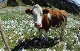 bernkastel ausgebüxt kuh flüchtet vor schlachter und