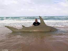 Halloween City Corpus Christi Texas by Texas Fisherman Facebook Removed Photo Of Huge Hammerhead Shark