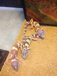 Crested Gecko Halloween Morph For Sale Uk by Baby Leopard Gecko Lizards Pinterest Baby Leopard Geckos
