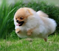Do Bichon Pomeranians Shed by The Pomeranian Descended From Ancient Spitz Dogs