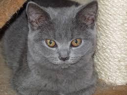 shorthair cat price blue shorthair kittens for orpington kent