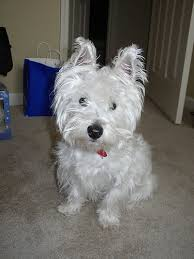 My Dog Stinks And Sheds A Lot by Best 25 Small Non Shedding Dogs Ideas On Pinterest Teddy Bear