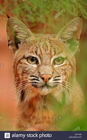 Bobcat Photo Stock Photos & Bobcat Photo Stock Images - Alamy Everything Is A Lie Cluding Larry The Cable Guys Southern Accent Code Is Zeek Catching Fire Burns Down Competion Movie Indie Film Myworldvsthemovies Bobcat Goldthwait On Twitter Thanks Buddy Comedy Iv Super Bowl Bobcatgoldthwait Hash Tags Deskgram Business Insider Call Me Lucky A By Friday May 26 2017 Westfield News Issuu Album Imgur 1997 With His Family Stock Photos