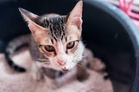 Pumpkin For Pets Diarrhea by Cat With Diarrhea Thriftyfun