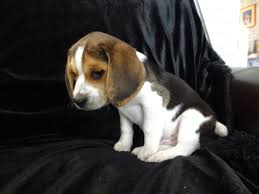 Non Shedding Dog Breeds Small by Pocket Beagle Dog Info Temperament Training Puppies Pictures