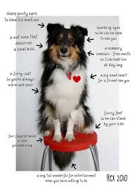 Sheltie Shedding Puppy Coat by 110 Best Shelties Images On Pinterest Rough Collie Sheltie And