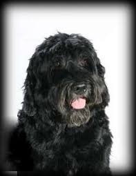 Portuguese Water Dog Non Shedding by Our Therapy Dogs Magic U0026 Coco Dejohn Funeral Homes U0026 Crematory