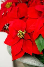 Best Type Of Christmas Tree For Cats by Poinsettias And Cats Dogs Poinsettias Poisonous To Cats