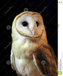 Barn Owl Portrait With Black Background Stock Photo - Image: 78785065 Black Barn Owl Oc Eclipse By Pkhound On Deviantart Closeup Of A Stock Photo 513118776 Istock Birds Of The World Owls This Galapagos Barn Owl Lives With Its Mate A Shelf In The Started Black Paper Today Ref Paul Isolated On Night Stock Photo 296043887 Shutterstock Stu232 Flickr Bird 6961704 Moonlit Buttercups Moth Necklace Background Image 57132270 Sd Falconry Mod Eye Moody