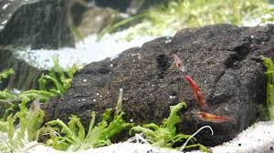 Aquascape Setup Time Laps And Red Cherry Shrimp HD - YouTube How To Set Up An African Cichlid Tank Step By Guide Youtube Aquascaping The Art Of The Planted Aquarium 2013 Nano Pt1 Best 25 Ideas On Pinterest Httpwwwrebellcomimagesaquascaping 430 Best Freshwater Aqua Scape Images Aquascape Equipment Setup Ideas Cool Up 17 About Fish Process 4ft Cave Ridgeline Aquascape A Planted Tank Hidden Forest New Directly After Setting When Dreams Come True
