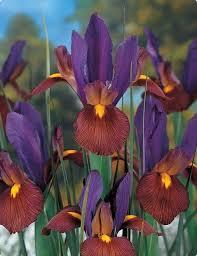 21 best flower bulbs iris images on bulb bulbs and irises