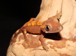 Crested Gecko Shedding Help by Crested Gecko Rhacodactylus Ciliatus Facts And Pictures