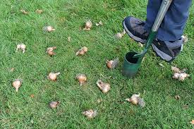 how to plant bulbs in grass rhs gardening