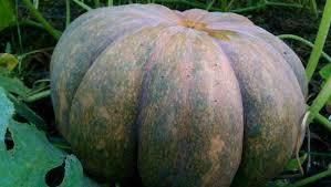 Natural Fertilizer For Pumpkins by Growing Cinderella Pumpkins U0026 Other Not So Fairy Tale Pumpkins