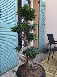 pot bonsai grande taille ficus microcarpa ginseng de grande taille ikea mon bonsai ne
