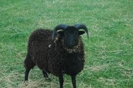 Vitrophanie Le Mouton Tabgha Peuple De Lumière