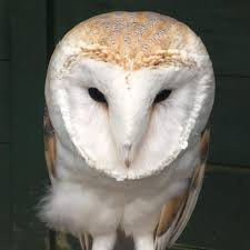Wirral Barn Owl Trust - Home | Facebook Barn Owl Outdoor Alabama Owl Wikipedia Trust On Twitter Cservation Handbook A Wednesday Birdnation Wirral Home Facebook Audubon Field Guide Review Course By Martin Oconnor Arbtech Legal Status The Rspb Eastern Singapore Birds Project Barnowltrust Owls Owls Of The Niagara Region