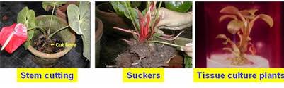horticulture flower crops anthurium