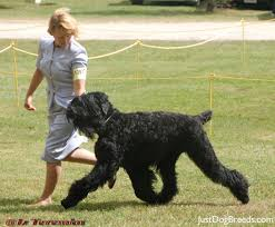 Large Non Shedding Dogs Pictures by 16 Good Big Non Shedding Dogs Gull Terr Find Out All About