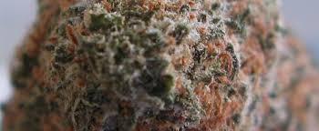 Northern Lights No 5 Strain Review I Love Growing Marijuana