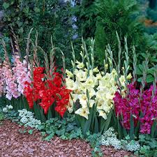 bulbs daffodils tulips hyacinth crocus and more