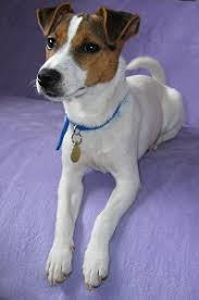 Rat Terrier Excessive Shedding by Parson Jack Russell Terriers What U0027s Good And Bad About U0027em