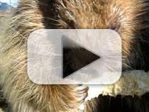 Porcupine Eats Pumpkin by Serious Eats Youtube Playlists Porcupines Eating Serious Eats