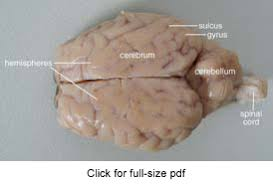 Sheep Brain Dissection Guide with