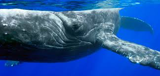 Humpback Whale Saviors Theyre Often Observed Coming To The Rescue Of Other Marine