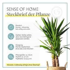zimmerpflanze yucca palme ohne übertopf yucca palme grün 17x75