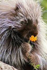 Porcupine Eats Pumpkin by Teddy Bear The Talking Porcupine Chatters Away While Devouring His