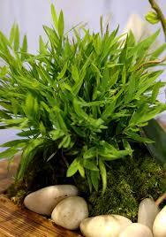 pogonatherum paniceum planter et entretenir ooreka