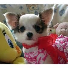 Do Jackie Bichon Shed by Chihuahua X Bichon Frise Oh My Goodness I U0027m In Love Doggies