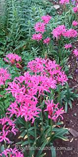 daylilies in australia nerines easy care flowers plant forget