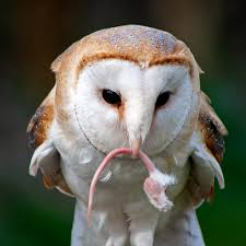Barn Owl (Tyto Alba) | This Image Was Given A Highly Commend… | Flickr Barn Owl Eating Mouse Sussex Uk Tyto Alba Stock Photo Royalty Bird Of The Month Owl Barn A Free Image 51931121 How To Attract Owls Your Yard 1134 Best Birdsstrigiformesowls Images On Pinterest Wikipedia Facts Pictures Diet Breeding Habitat Behaviour Eating Picture And 1861 Owls Snowy Saw Whets Chick Raptor Conservancy Virginia Baby And Animal