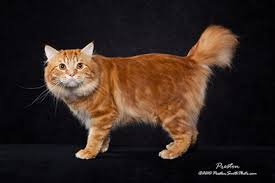 bobtail cat american bobtail cat breed profile and facts