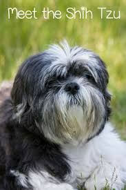 Shed Free Lap Dogs by 209 Best Hypoallergenic Dog Breeds Images On Pinterest Animals