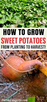 How To Grow, Harvest And Store Sweet Potatoes | Growing Sweet ... Texas Garden The Fervent Gardener How Many Potatoes Per Plant Having A Good Harvest Dec 2017 To Grow Your Own Backyard 17 Best Images About Big Green Egg On Pinterest Pork Grilled Red Party Tuned Up Want Organic In Just 35 Vegan Mashed Potatoes Triple Mash Mashed Pumpkin Cinnamon Bacon Sweet Gardening Seminole Pumpkins And Sweet From My Backyard Potato Salad Recipe Taste Of Home