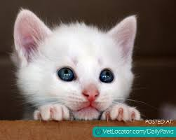 kitty cat daily paws picture of the day white kitty cat daily paws daily paws