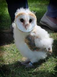 Baby Barn Owl 02 By EscaBowmer On DeviantArt Barn Owl Focus On Cservation Best 25 Baby Ideas On Pinterest Beautiful Owls Barn Steal The Show As Day Turns To Night At Heartwood Family Ties Owl Chicks Let Their Hungry Siblings Eat First The Perch Uncommon Banchi Baby Coastal Home Giftware From Horizon Stock Image Image Of Small Young Looking 3249391 You Know Birdnote Banding By Alex Lamoreaux Nemesis Bird